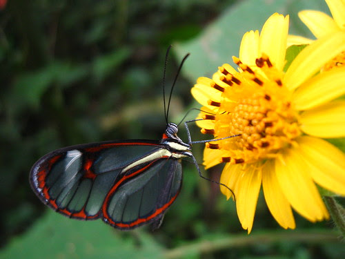Mariposa tranparente