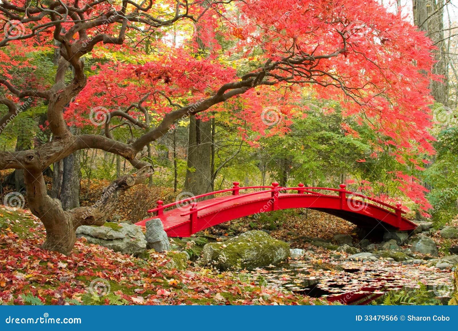 japanese garden red bridge beautiful maple tree autumn 33479566