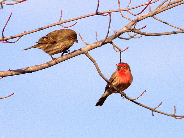 House Finch pair 20130115