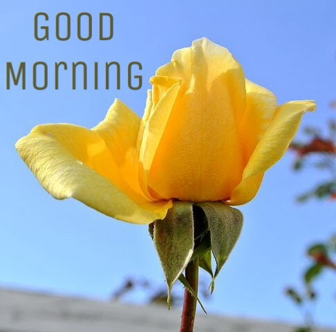 100 Good Morning Images With Flowers Hd Morning Rose Flowers