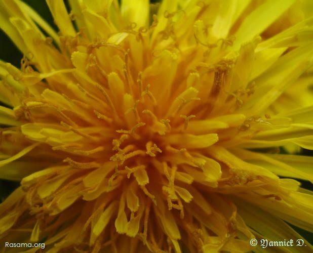 Gros plan sur une Fleure de Pissenlit
