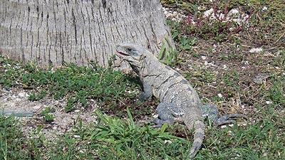 iguane à Cancun.jpg