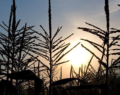 Sweet Corn Sunrise