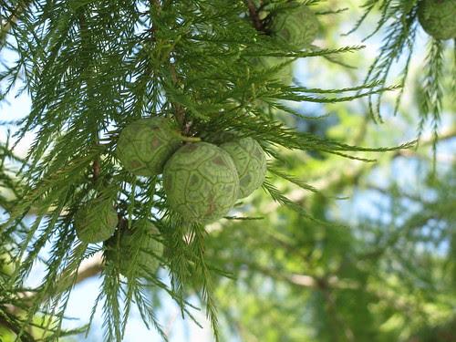 New pinecones