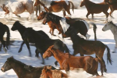 wild-horse-herd