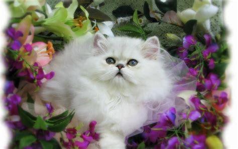 wallpaper kucing lucu  imut  kumpulan tips