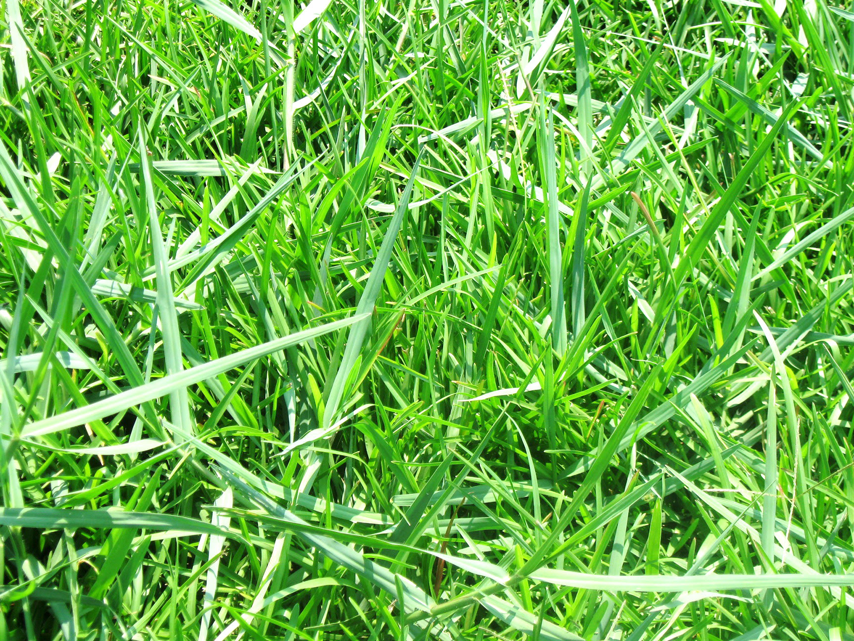 Torpedograss One Of The Most Difficult Weeds To Control Bossier