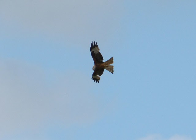 27246 - Red Kite, Gower