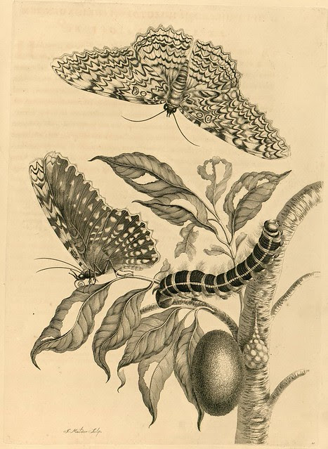 insect drawing - 1700s