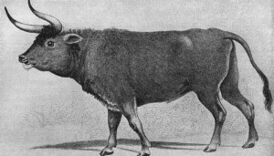 Un bisonte.