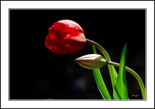 003 Tulip