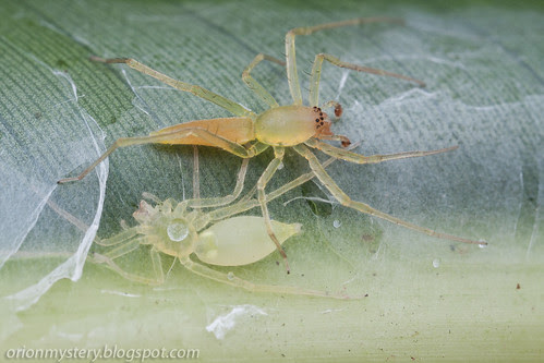 male and female Clubonidae spiders in the same net IMG_2741b copy