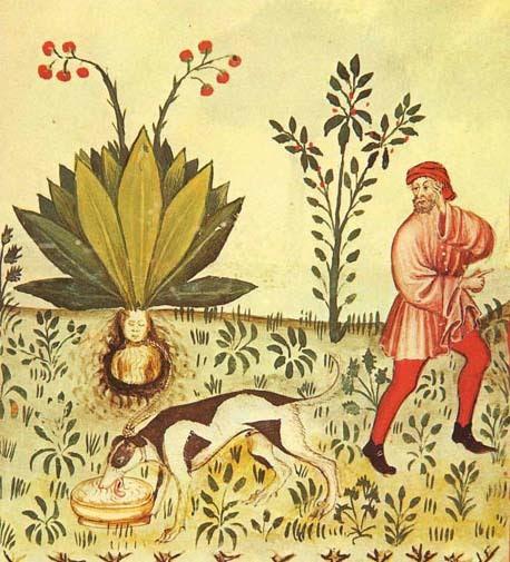 uncertaintimes:  Mandrake (Mandragora officinarum), from Tacuinum Sanitatis (15th c.)