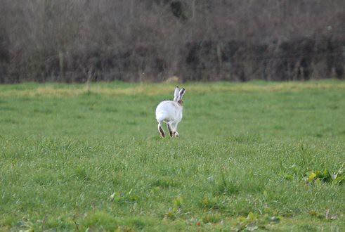 Irish White Hare