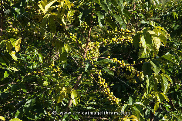 Photos and pictures of: Coffee plantation, Mabara, near Butare, Rwanda   The Africa Image Library