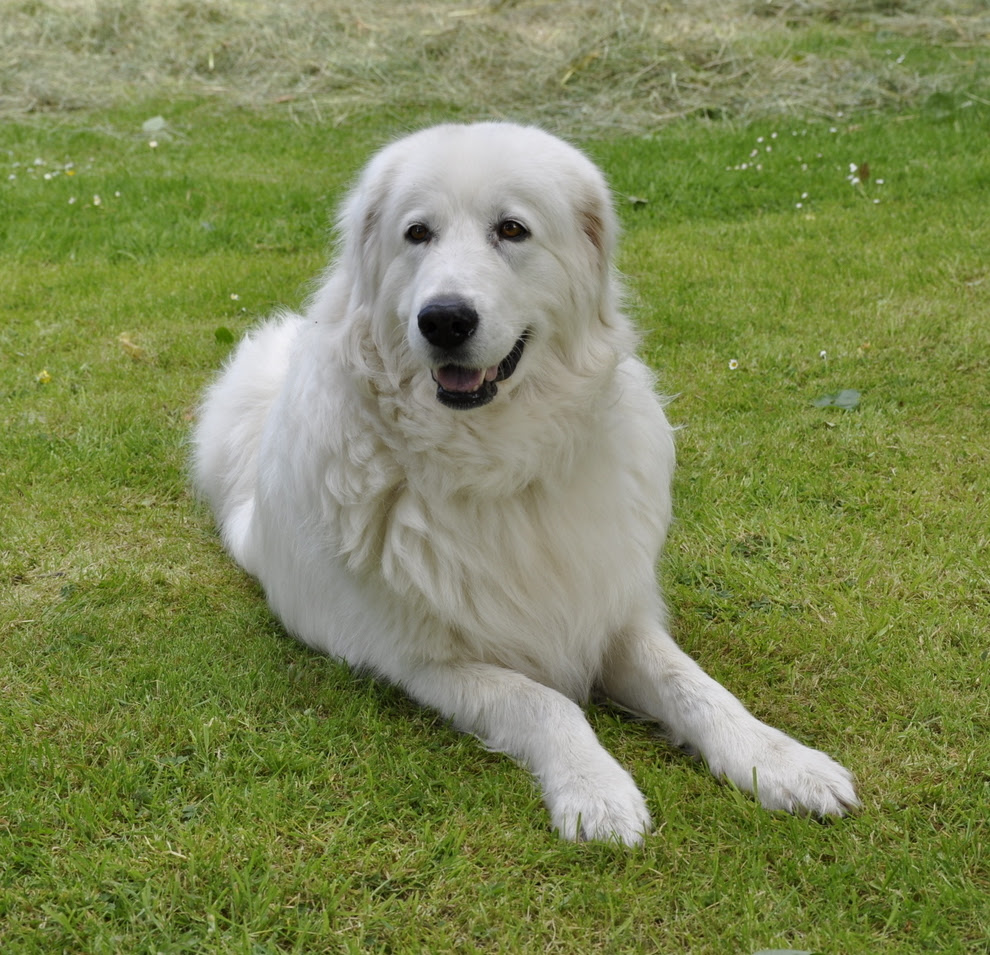 Sheep Dog Maremma sh