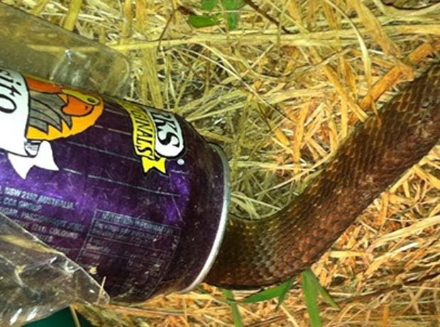 Cobra foi encontrada presa em uma lata de refrigerante. (Foto: Reprodução)