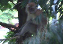 Monkeys spotted at Yishun Park_a_020106