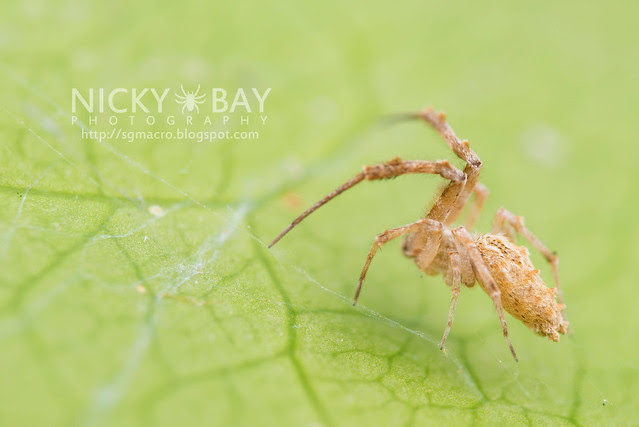 Feather-Legged Spider (Uloboridae) - DSC_6458