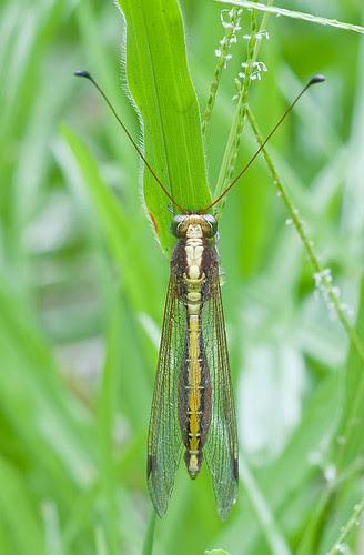 owlfly from Maliau Basin IMG_7152 copy