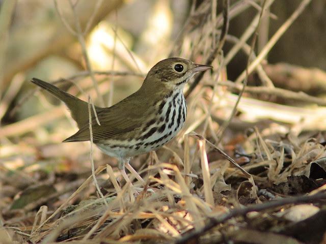 Ovenbird 5-20120924