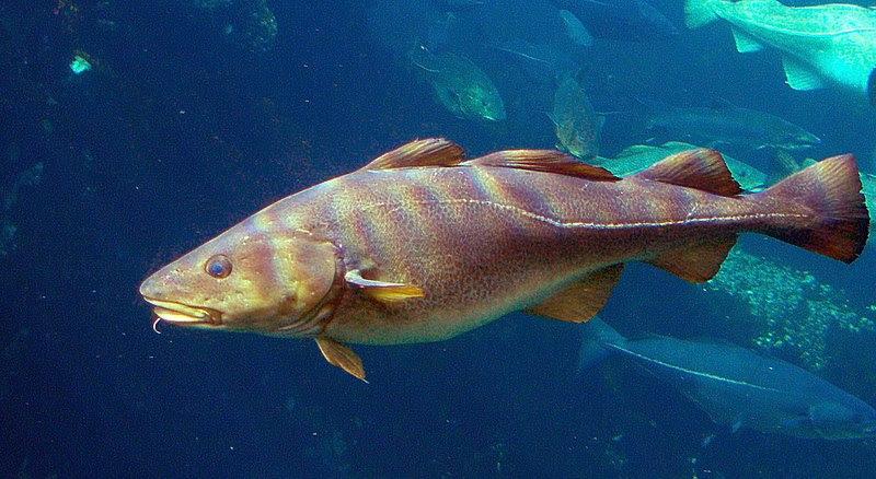 Archivo:Gadus morhua Cod-2b-Atlanterhavsparken-Norway.JPG