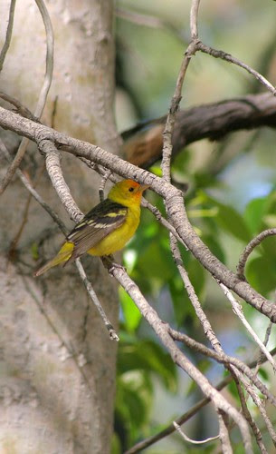 western-tanager