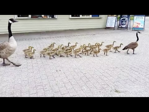 How many BABY  GEESE Are there