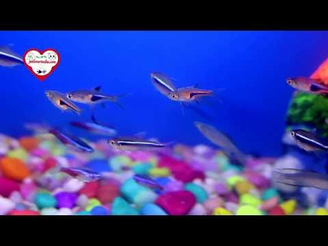 Tetra fish video