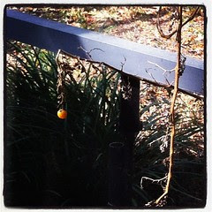 You guys, there were three ripe cherry tomatoes on my long dead and withered plant this morning?!?!