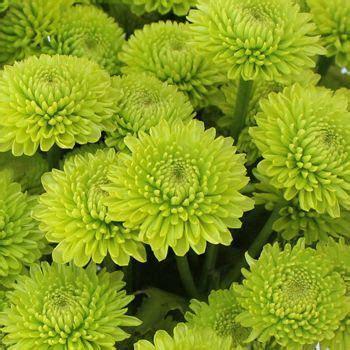 Yoko Ono Mini Button Pom Green Flower   Reception Flowers