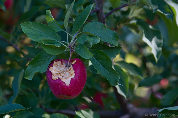 apple, eaten on the tree