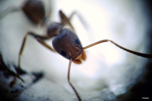 Hormiga posando para mi by Alejandro Bonilla