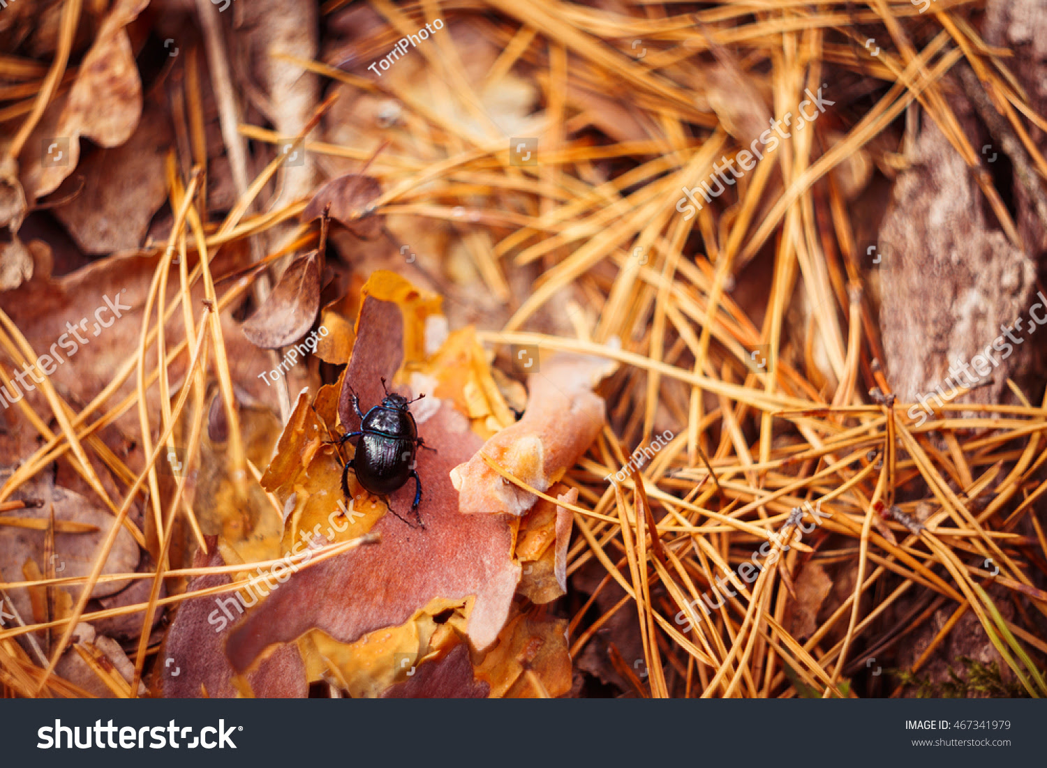 Autumn forest background with black earth-boring dung beetle