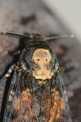 1973 Death's-head Hawk-moth Acherontia atropos