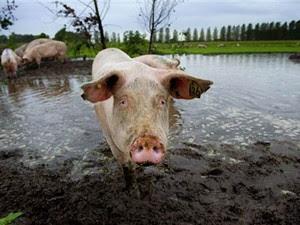 Fazenda De Jofrahoeve conta a melhor 'piscina de lama' para porcos. (Foto: Robin Utrecht/AFP)