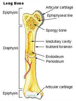 Illu long bone.jpg