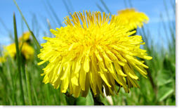 The Biology Of Dandelions
