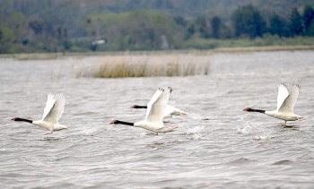 Cisnes volando-Río Cruces
