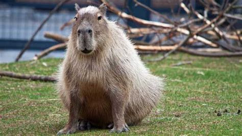 5 things you didn't know about capybaras   MNN   Mother Nature Network