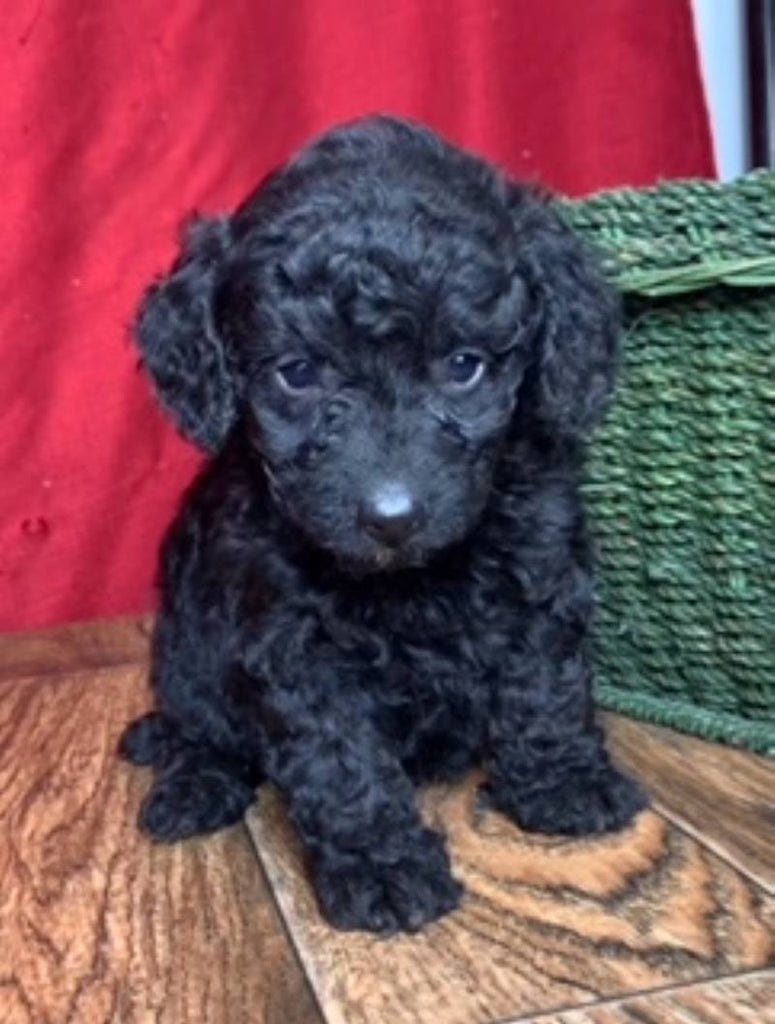 Toy Poodles For Sale In Ohio Petswall