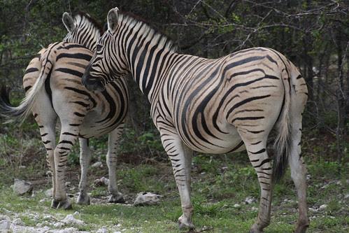 Zebras - Etosha