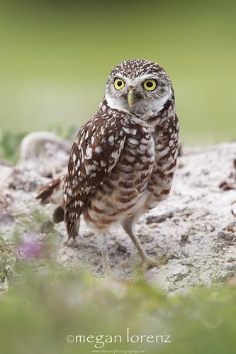 Surprised Owl by Megan Lorenz