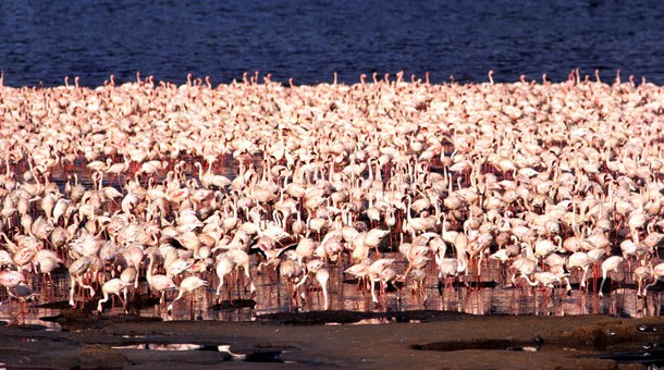 Flamencos rosa en el Lago Nakuru