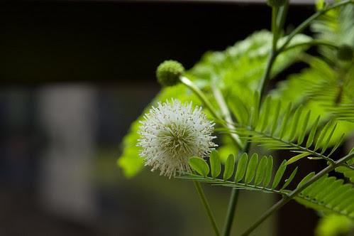 Mimosa pudica by Itajai de Albuquerque