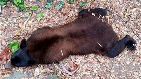 Wildlife officials relocate black bear found wandering