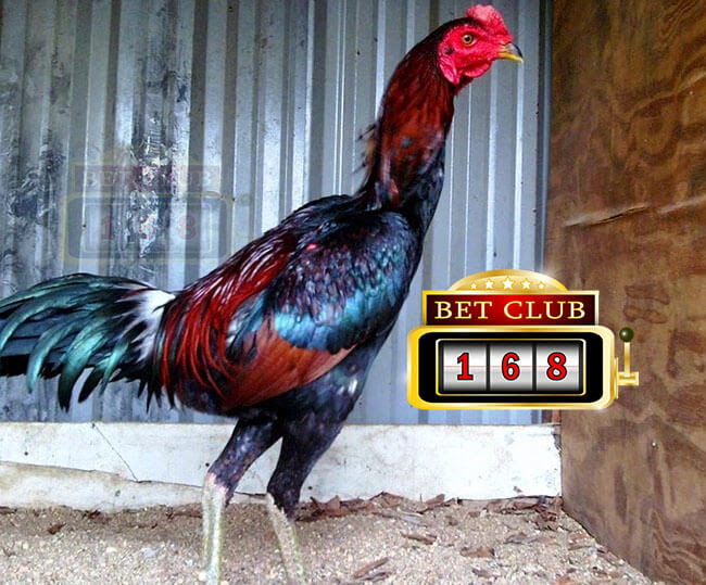 80 Gambar Ayam Aduan Pama Terbaik