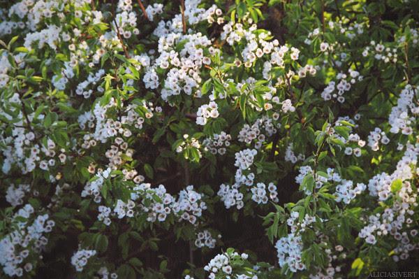 pear, tree, flowers, aliciasivert, alicia sivertsson, spring, nature, päron, päronträd, päronblom, blommor, vår, natur