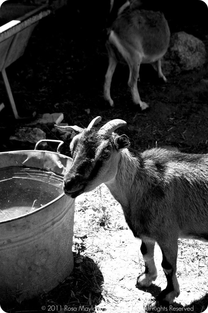 Goat B&W bis
