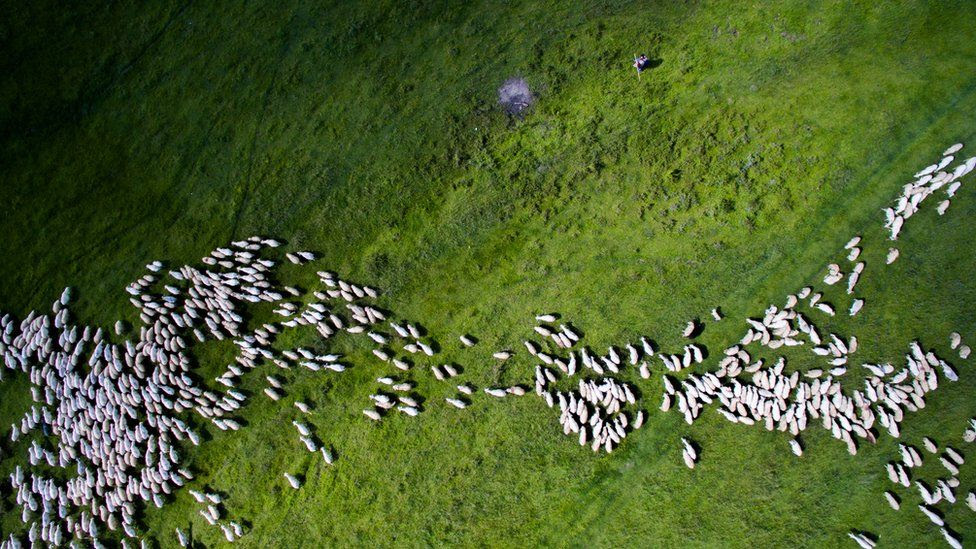 Ovelhas pelo campo